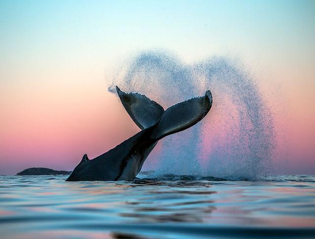 镜头下的北极鲸,美到窒息!